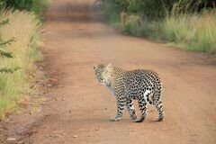 Spotted Leopard on Dirt Path Stock Photos