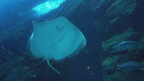 Spotted Leopard ray swimming in marine aquarium stock footage video. Spotted Leopard ray swimming in a marine aquarium stock footage video stock video footage