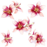 Spotted lilies Stock Images