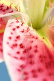 Spotted Lily Petals closeup Royalty Free Stock Image
