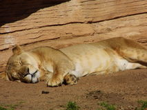 Spotted Lioness Royalty Free Stock Photography