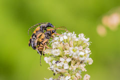 Spotted Longhorn Adults Only Royalty Free Stock Photography