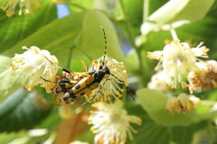 Spotted Longhorn beetle Stock Photo