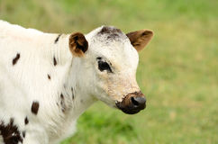 Spotted Longhorn Calf Stock Images