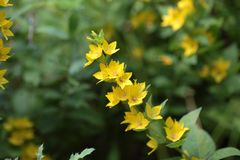 Spotted loosestrife (Lysimachia punctate). Stock Photos