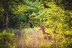 Spotted male horned deer look out across the fields of Udawalawe Royalty Free Stock Photography