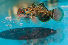 Spotted Mandarin Dragonet In Aquarium Royalty Free Stock Photography