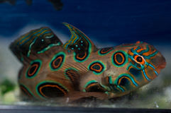 Spotted Mandarin Goby stock image