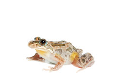 Spotted Marsh Frog Stock Photo