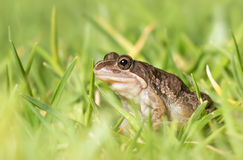 Spotted Marsh Frog (Limnodynastes tasmaniensis) in grass Stock Photos