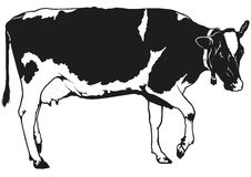 Spotted Milk Cow Stock Photos