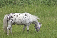 Spotted Mini Grazing in the Field. Tiny mini horse grazing in the green meadow Royalty Free Stock Photo