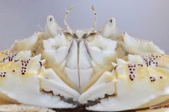 Spotted Moon Crab. A portrait of a spotted moon crab which appears to be smiling Stock Images