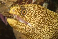 Spotted Moray - Bonaire. Spotted Moray (Gymnothorax moringa) - Bonaire, Netherlands Antilles Stock Image