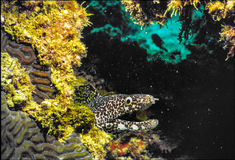 Spotted Moray. In Caribbean Sea  shot in Bonaire Royalty Free Stock Photography