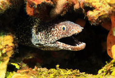 Spotted Moray. Close-up of a Spotted Moray (Gymnothorax Moringa) With Open Mouth, Cozumel, Mexico Royalty Free Stock Photography