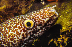 Spotted Moray. Close up, head out of the den, in the Caribbean Sea,  shot in Venezuela Royalty Free Stock Photos
