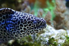 Spotted moray Royalty Free Stock Images