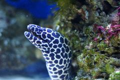 Spotted moray Stock Images