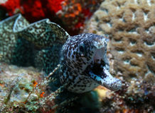 Spotted Moray - Cozumel, Mexico. Spotted Moray (Gymnothorax moringa) with open mouth - Cozumel, Mexico Royalty Free Stock Photos