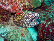 Spotted Moray Eel Royalty Free Stock Photos