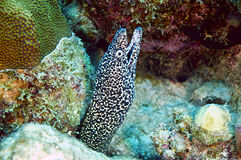Spotted moray eel stock images