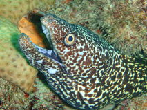 Spotted moray eel Royalty Free Stock Images