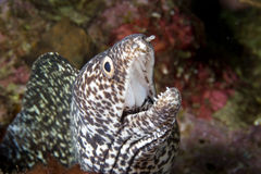 Spotted Moray Eel close-up Royalty Free Stock Images