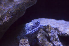Spotted Moray Eel Stock Photos