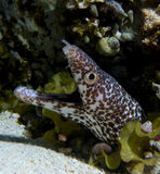 Spotted moray Royalty Free Stock Photos
