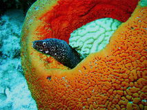 Spotted Moray Eel in Sponge. A spotted moray eel sits in a large orange sponge in the coral reef around Bonaire, Southern Caribbean Stock Photos