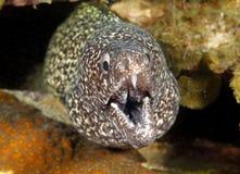 Spotted moray eel ,utila,honduras underwater snake Royalty Free Stock Image