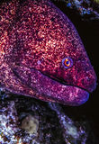 Spotted Moray ell Stock Image