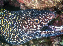 Spotted moray,Gymnothorax isingteena. Is a moray eel found in coral reefs Royalty Free Stock Image
