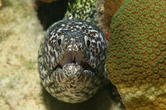 Spotted Moray (Gymnothorax moringa) - Bonaire Royalty Free Stock Photography