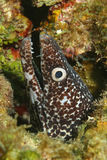 Spotted Moray (Gymnothorax moringa) - Cozumel, Mex Royalty Free Stock Image