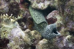 Spotted moray open mouth to breath Royalty Free Stock Photography