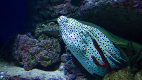Spotted moray underwater. At Moscow oceanarium stock video footage