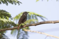 Spotted morning-thrush that sits on an acacia tree in the shade Stock Image