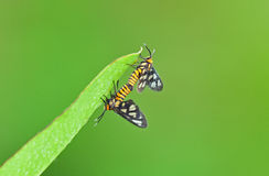 Spotted moth mating. On the leaf stock image