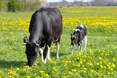 Spotted mother cow and calf in meadow with yellow dandelions. Spotted mother cow and calf in green meadow with yellow dandelions in spring Stock Image