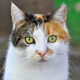 Spotted multicolor cat Royalty Free Stock Images