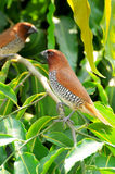 Spotted munia Stock Images