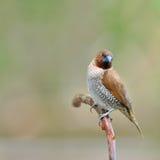 Spotted munia bird Stock Photo
