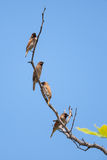 Spotted munia Royalty Free Stock Images