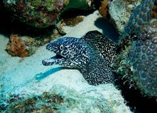Spotted Murray Eel Royalty Free Stock Image
