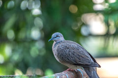 Spotted-necked Dove in the back yard. Royalty Free Stock Photos