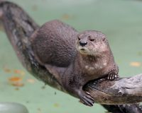 Spotted-necked otter royalty free stock photos