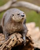 Spotted-necked otter Stock Image