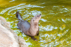 Spotted-necked otter Stock Images